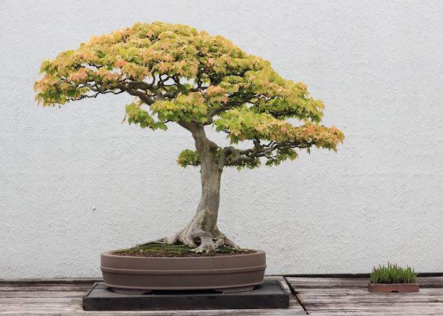 Bonsai Kita