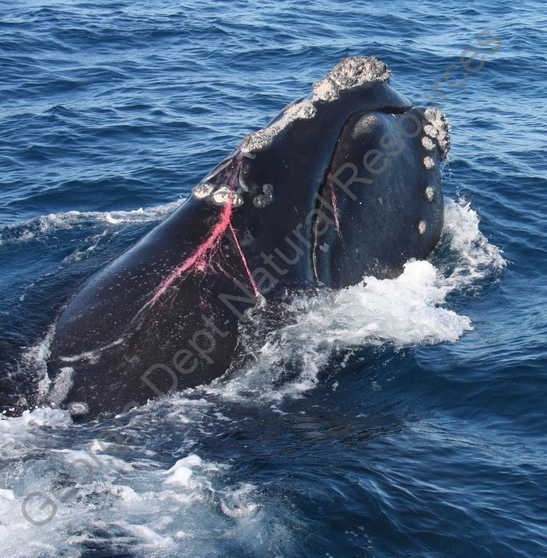 Right Whale Research Blog
