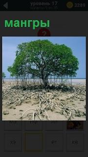 Вечно зеленое дерево  с большими корнями мангры. Корни тянутся далеко, словно ползут по земле