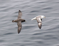 Northern Fulmars in flight – Aleutians, AK – Sept. 2006 – photo by Alan Schmierer