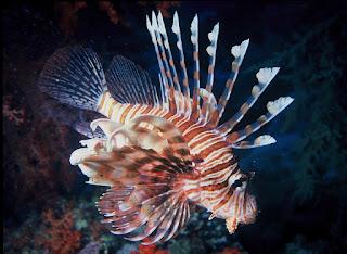 سمكة الأسد او التنين  Lion Fish