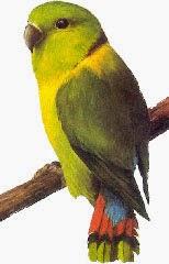 Black-collared lovebird