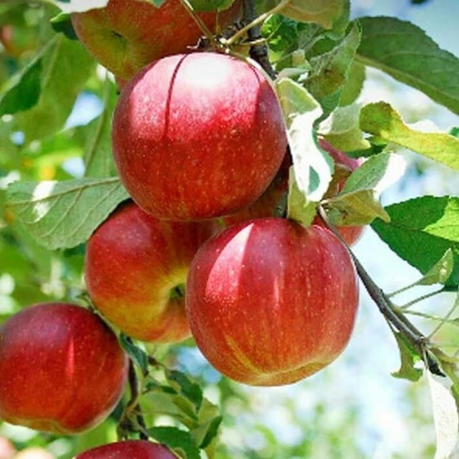 bibit apel super cepat berbuah bisa COD Dumai