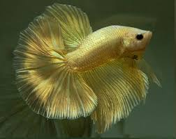 Ikan Cupang Super Gold Semua Cara Budidaya Hewan