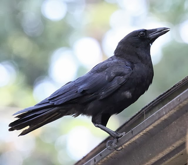WALPEPAR: American Crow Wallpaper's 20