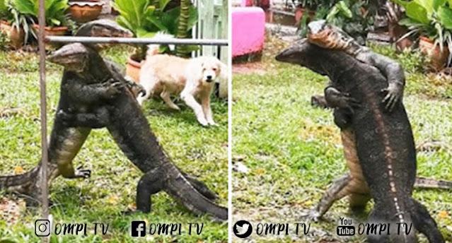 Ngeri Ada Dua Biawak Besar Bertarung Di Halaman Rumah