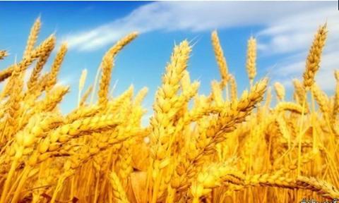 رفض تسلم الجمعيات التعاونية الزراعية للقمح من الفلاحين