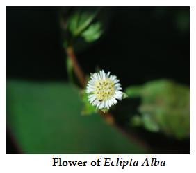 Therapeutic Uses of Eclipta Alba,