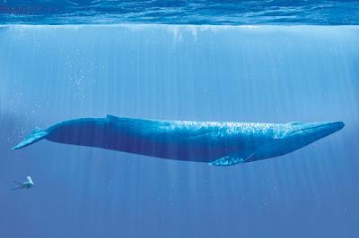 الحوت الازرق / The Blue Whale