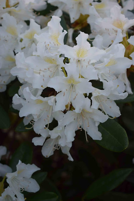 Rhododendron 'Cummingham´s White'