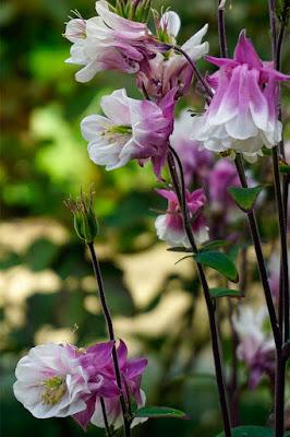plants, flowers aquilegia,