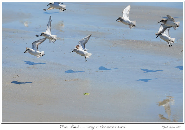 Crane Beach: ... coming to their summer homes...