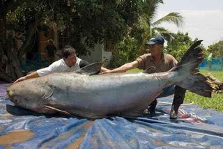 Buktikan ! Ini Ikan Cupang Terbesar Di Dunia Yang Bikin Penasaran
