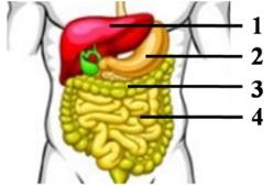 organ yang terdampak diare