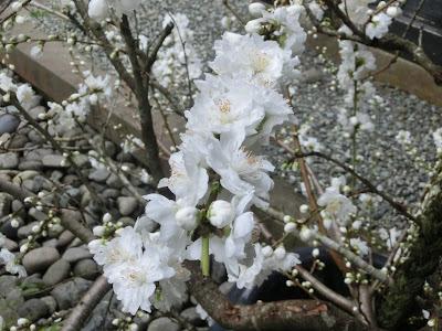 東慶寺のハナモモ