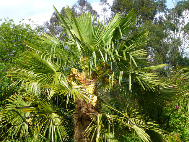 Botaniquarium - Trachycarpus fortunei
