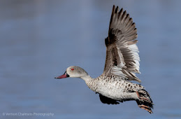 Cape Teal Duck Woodbridge Island Image Copyright Vernon Chalmers Photography