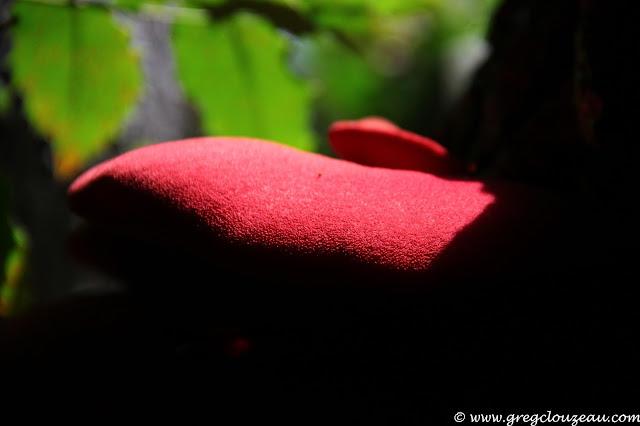Fistulina hepatica, Langue de boeuf, Fontainebleau, (C) 2014 Greg Clouzeau
