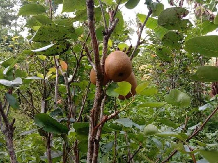 Bibit tanaman buah pear pir asia okulasi cepat berbuah Jawa Timur