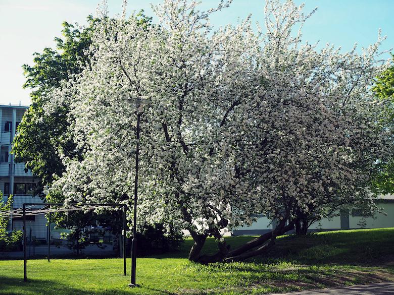 apple tree spring