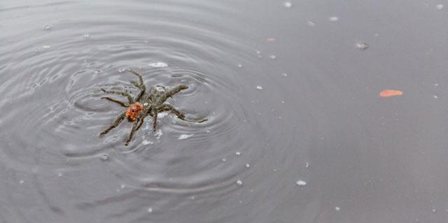 Tarantula Bisa Berjalan di Atas Air