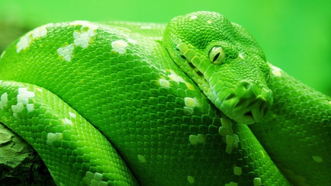 Green Snake HD Wallpaper 3