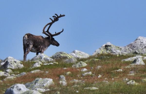 reinsdyr norefjell