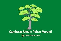 Gambaran Umum Pohon Meranti