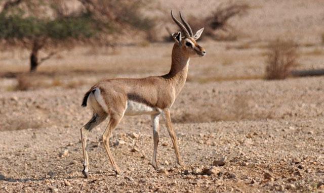 Dorcas-Gazelle