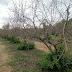Οι καλλιεργητές ροδιάς σε απόγνωση….. και η κυβέρνηση της ΝΔ παντελώς αδιάφορη