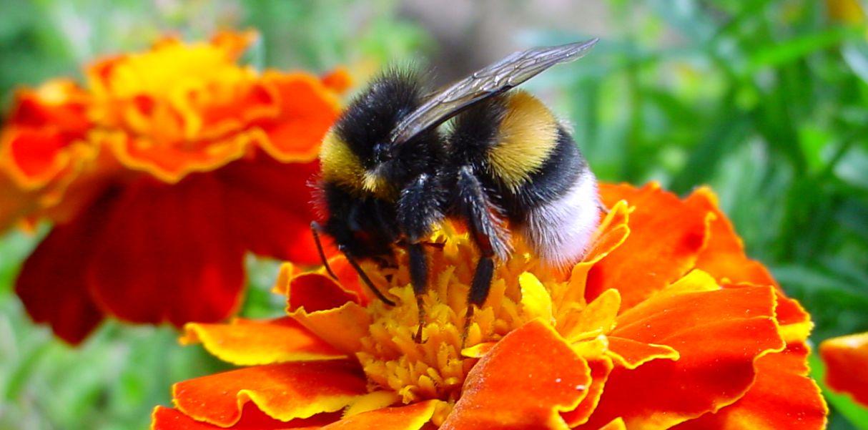 El abejorro: características, hábitat, hábitos y reproducción - Biología