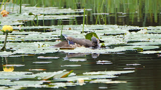 Wood duck eats pond lily seeds