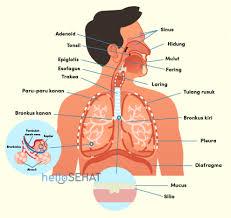 Jawaban Soal Uraian Biologi Sistem Respirasi Kelas 11 SMA