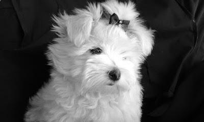 raza perro maltes