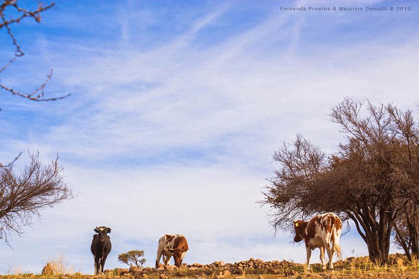 vacas no cerro