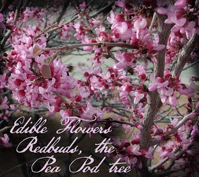 wild redbud blossoms