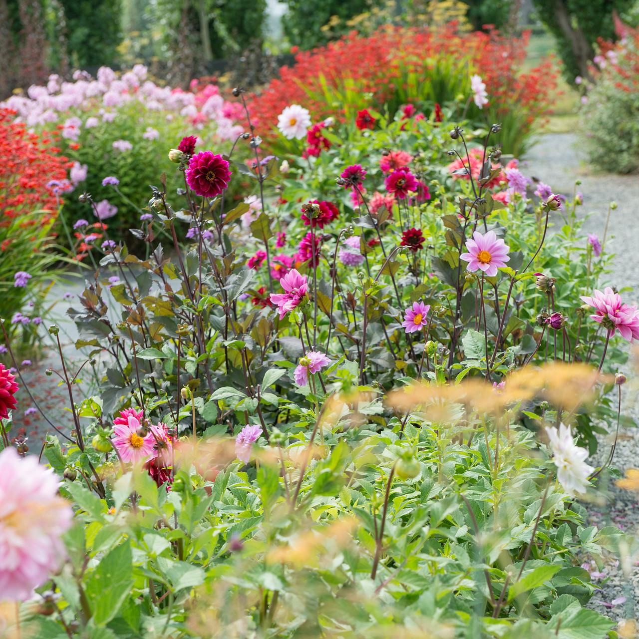 dalias y otras flores de bulbo de verano para flor de corte en el jardín o en macetas