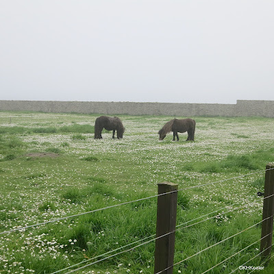 horses grazing on field with daisies, Shetland