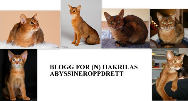 Blogg for (N) Hakrilas Abyssineroppdrett