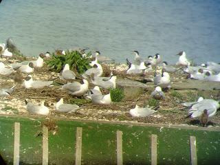 large tern island