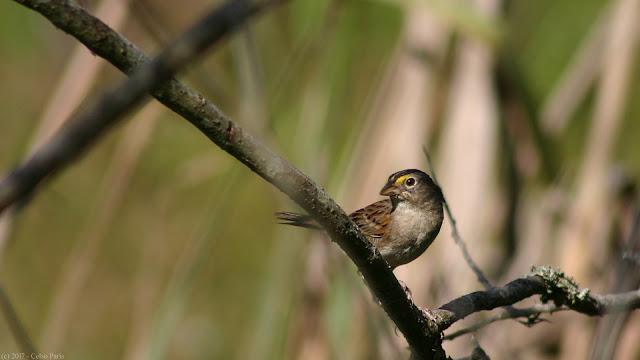 Ammodramus humeralis Grassland Sparrow Tico-tico-do-campo Chingolo Pajonalero