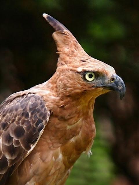 contoh Gambar burung garuda