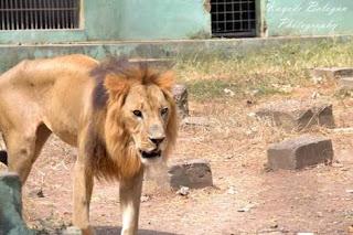 Lion kills zookeeper in Ibadan