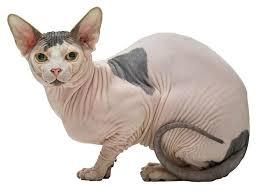 Kucing Sphynx dan Karakteristiknya