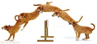 etapas de salos em cães