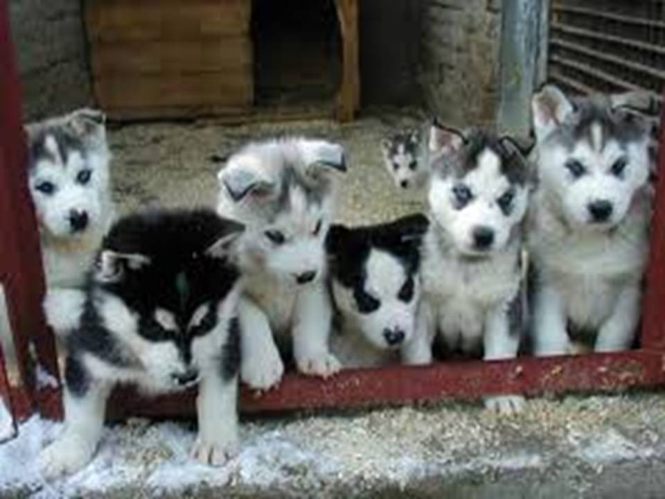Images Of Husky Dogs: Lovely Pets: Siberian Husky Puppies Gallery