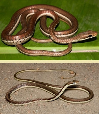 Bronze back tree snake.