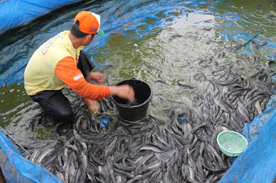 Knowing How To Harvest Catfish in Catfish Livestock Business Opportunities