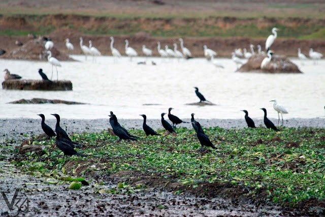 Cormorants with egrets in background