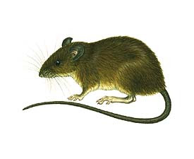 Rata nadadora Nectomys squamipes